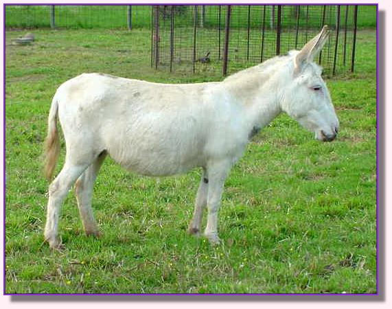 My World Emily, miniature donkey for sale
