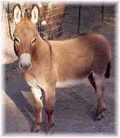 Miniature Donkey My World Cheyenne (5327 bytes)