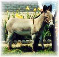 Miniature Donkey My World Dodger (7,246 bytes)